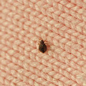 do bed bugs die in water kill bed bugs with diy bed bug treatment plan angies list