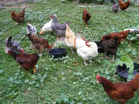 what to feed backyard chickens how to feed your chickens