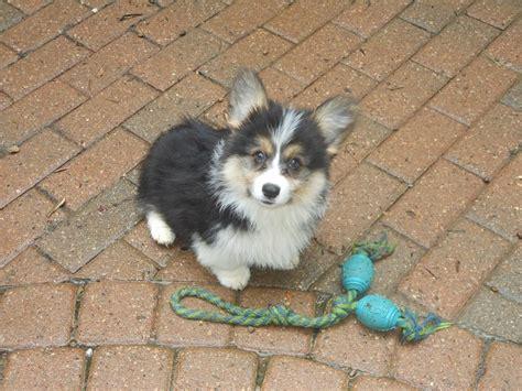 fluffy corgi puppies fluffy puppy corgi watsoncorg