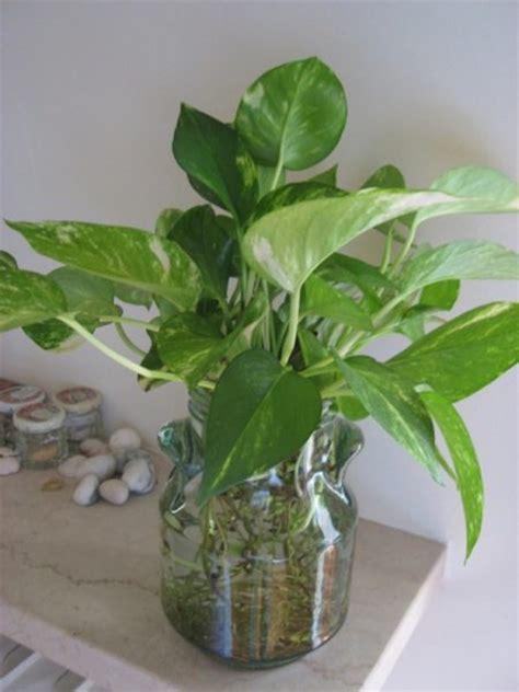 vaso per idrocoltura potos coltivazione