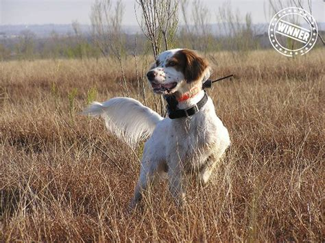 setter gun dog 17 best images about i love llewellin setters on pinterest