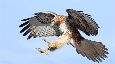 long island pigeon enthusiast admits he killed hawks nbc