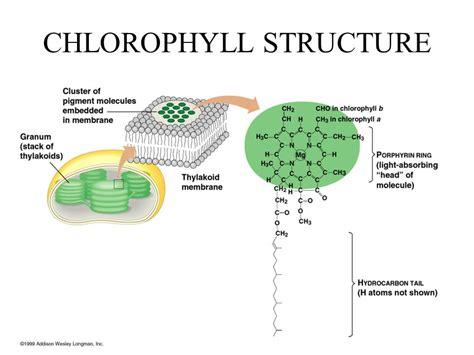 chlorophyll diagram chlorophyll diagram related keywords chlorophyll diagram