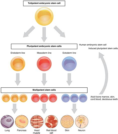 stem cell diagram cellular differentiation 183 anatomy and physiology