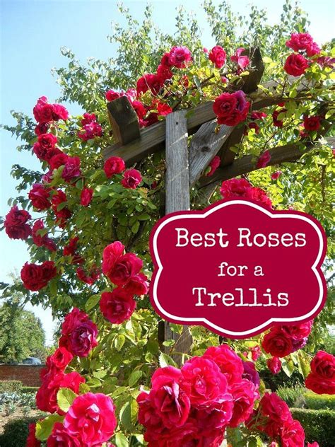 Best Trellis For Climbing Roses 15 best ideas about trellis on trellis white trellis and vine yard