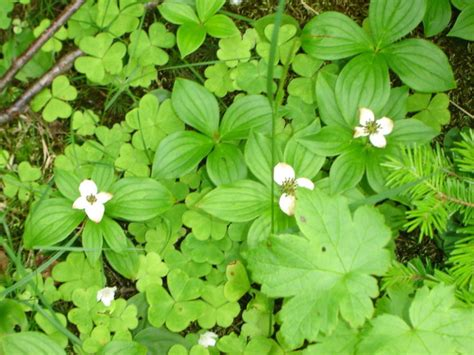 cornus canadensis flower seeds bunchberry bunchberry