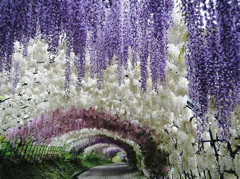 a colorful walk wisteria tunnel at kawachi fuji gardens