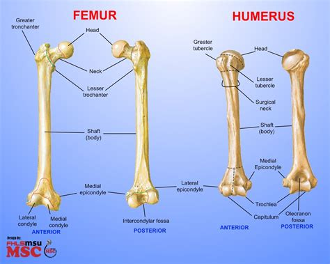 difference between and skeleton diagram femur these bones of mine