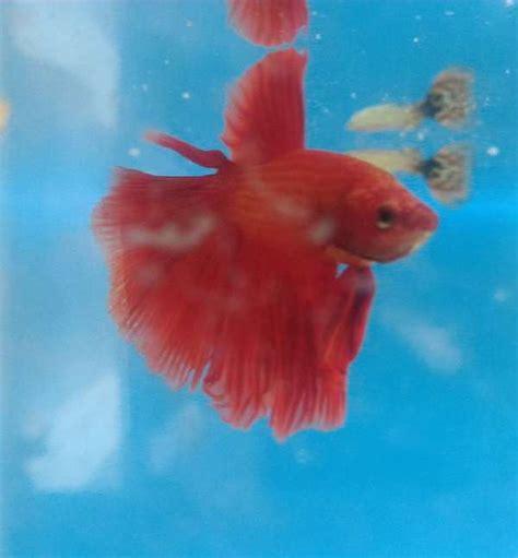 Ikan Cupang 27 memperbaiki sirip ekor ikan cupang rusak binatang peliharaan