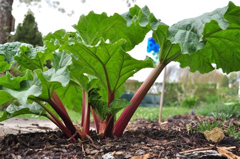 How To Grow Rhubarb In A Pot Or In The Garden Plant Plants Vegetable Garden