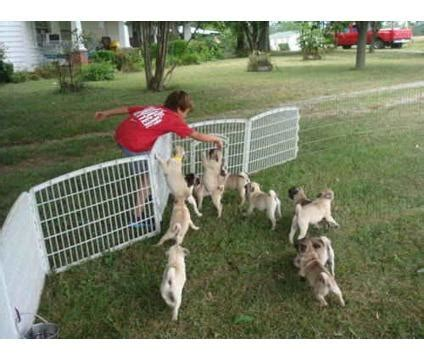 pug puppies for sale in south africa pug puppies for sale cape town south africa free classifieds muamat
