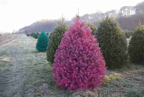 xmas tree farms covingtom best tree farms near nyc where to get a tree in nj ct more thrillist