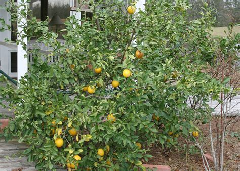 Southern Gardens Citrus by Mississippi Temps Allow Citrus Trees To Succeed