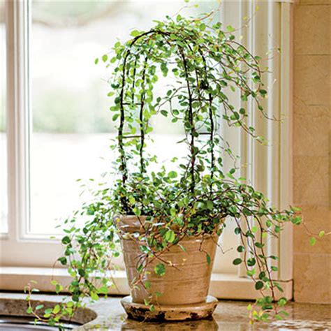 indoor vine plants pontifical s porch topiaries one more