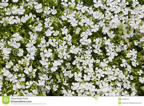 tiny petite natural herbal background small white flowers royalty free