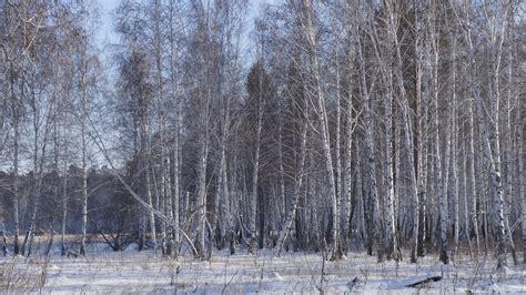 birch tree wallpapers pixelstalknet