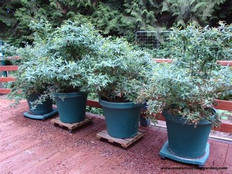 top 28 growing christmas trees in pots saga magazine blueberry plants in pots 28 images blueberry blue