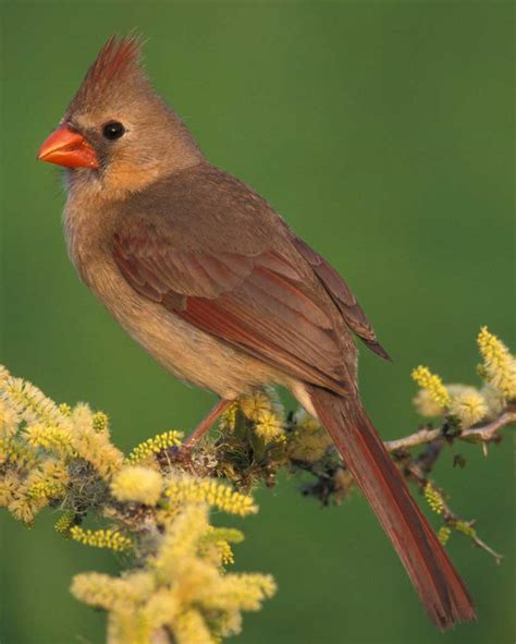 northern cardinal audubon field guide