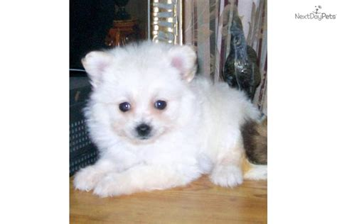Does A Maltipoo Shed by Malti Poo Maltipoo Puppy For Sale Near Huntsville