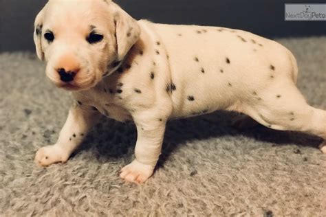 dalmatian puppies for sale nc dalmatian puppy for sale near carolina 7624bfe3 2491