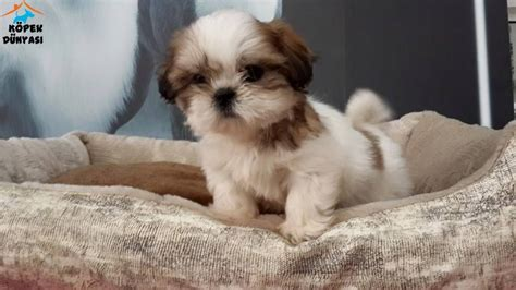teacup shih tzu rescue shih tzu rescue related keywords shih tzu rescue keywords keywordsking