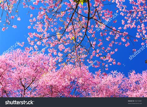 Pink Blossom In Blue pink cherry blossoms with blue sky background stock