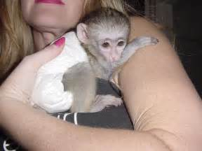 boy and girl capuchin monkeys for sale only to good lovely