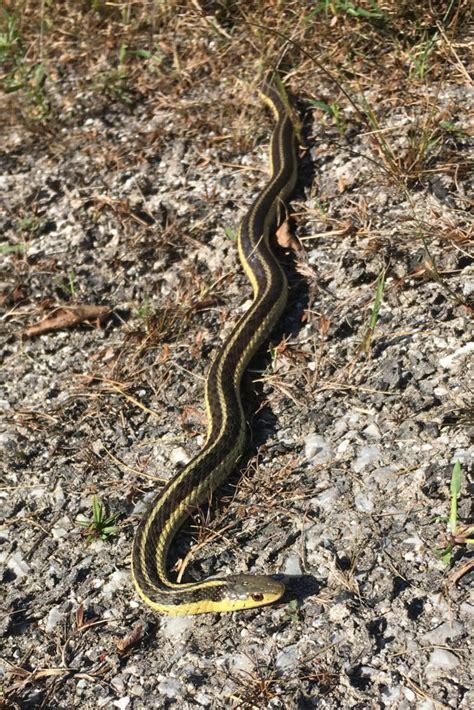 garter snakes   garden  charlotte news
