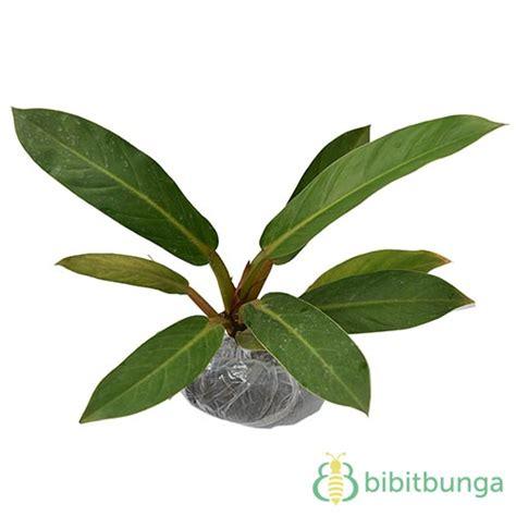 Tanaman Daun Philodendron Katak tanaman philodendron cardinal bibitbunga