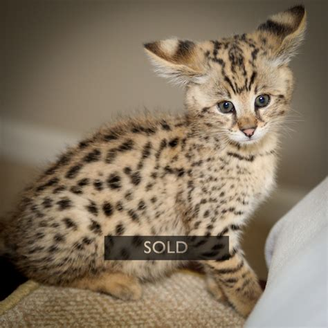 savannah kittens for sale about savannahs savannah f1 savannah kitten