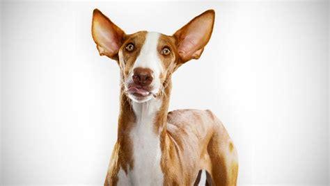 ibizan hound puppies ibizan hound breed selector animal planet