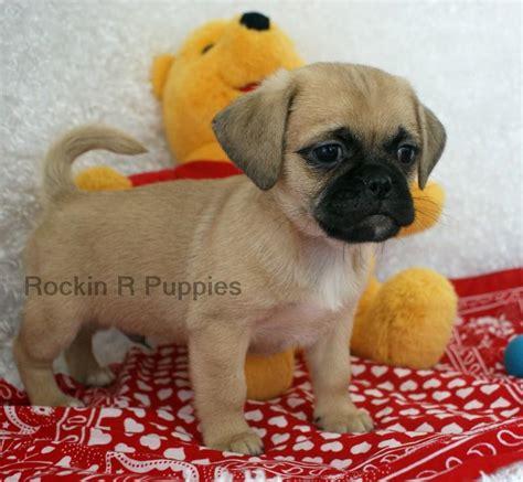 r puppies paws puginese rockin r puppies