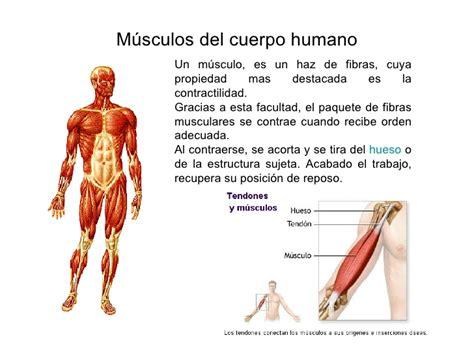 los msculos clave en m 250 sculos del cuerpo humano