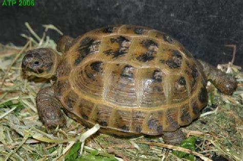 russian tortoises photo gallery
