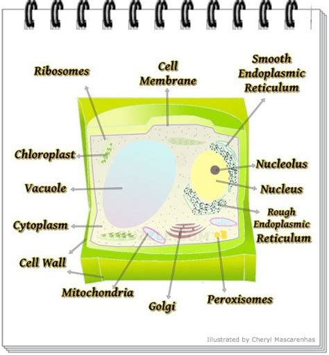 plant cell diagram labeled describe the plant cell with labelled diagram 4733844