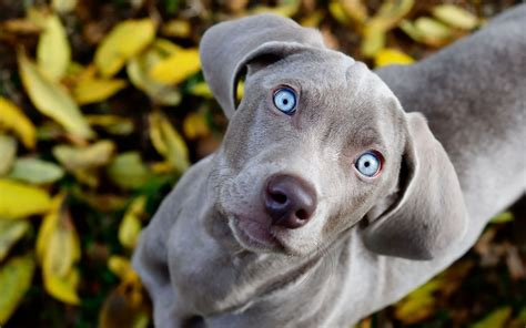 Dogs Grey 30 weimaraner hd wallpapers background images