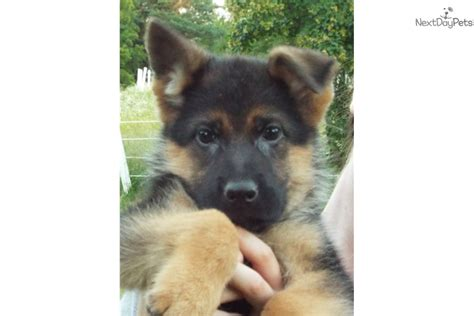 german shepherd puppies for sale in kansas city german shepherd puppy for sale near kansas city missouri 04218337 3d71