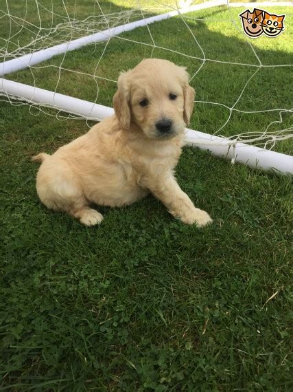 goldendoodle puppies for sale in essex goldendoodle puppies f1 2 maldon essex pets4homes