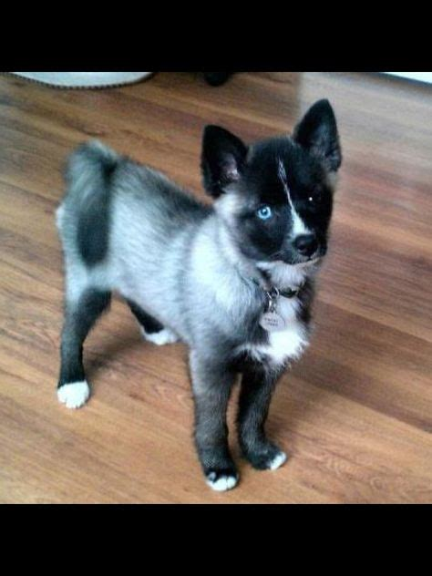 pomeranian husky hypoallergenic animals dogs and puppies on pomeranians rat terriers and