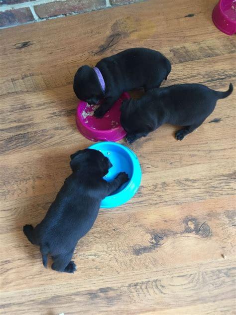 black pug breeders new york nick pug breeder ardsley new york