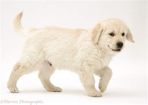 walking puppy golden retriever puppy walking across photo wp40843