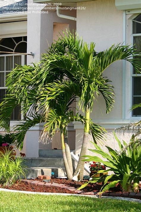 plantfiles pictures adonidia species christmas palm