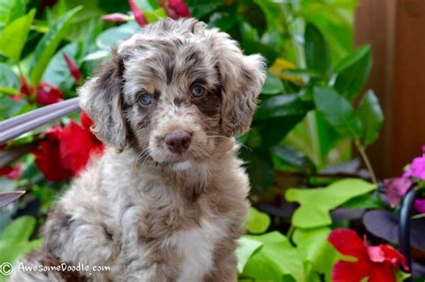 aussiepoo puppies for sale merle mini aussie puppies www pixshark images galleries with a bite