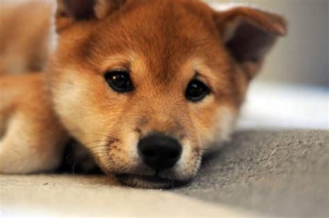 shiba inu puppies lil whisperer