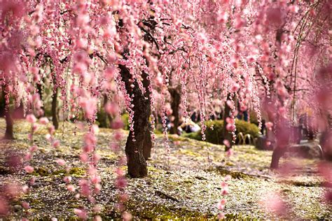 japanese cherry blossom tree 21 of the most beautiful japanese cherry blossom photos of