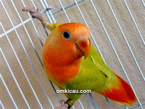 Suplemen Lovebird cara merawat burung lovebird muda biar ngekek panjang burung labet