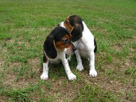 beagle puppies for sale in va teacup beagles for sale va breeds picture