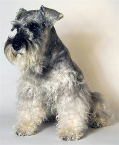 schnauzer dogs pin by madge hosken on schnauzer s and other dogs