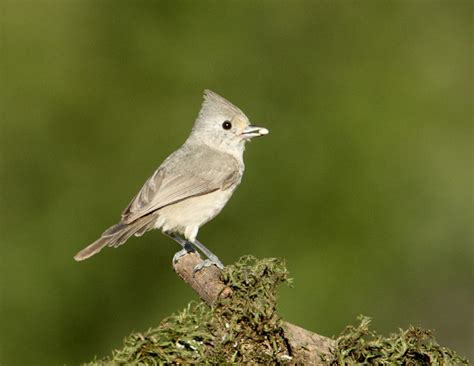 oak titmouse mostly birds photographs by larry selman
