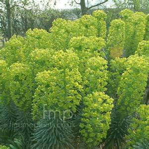 a big photo of euphorbia characias from findmeplants